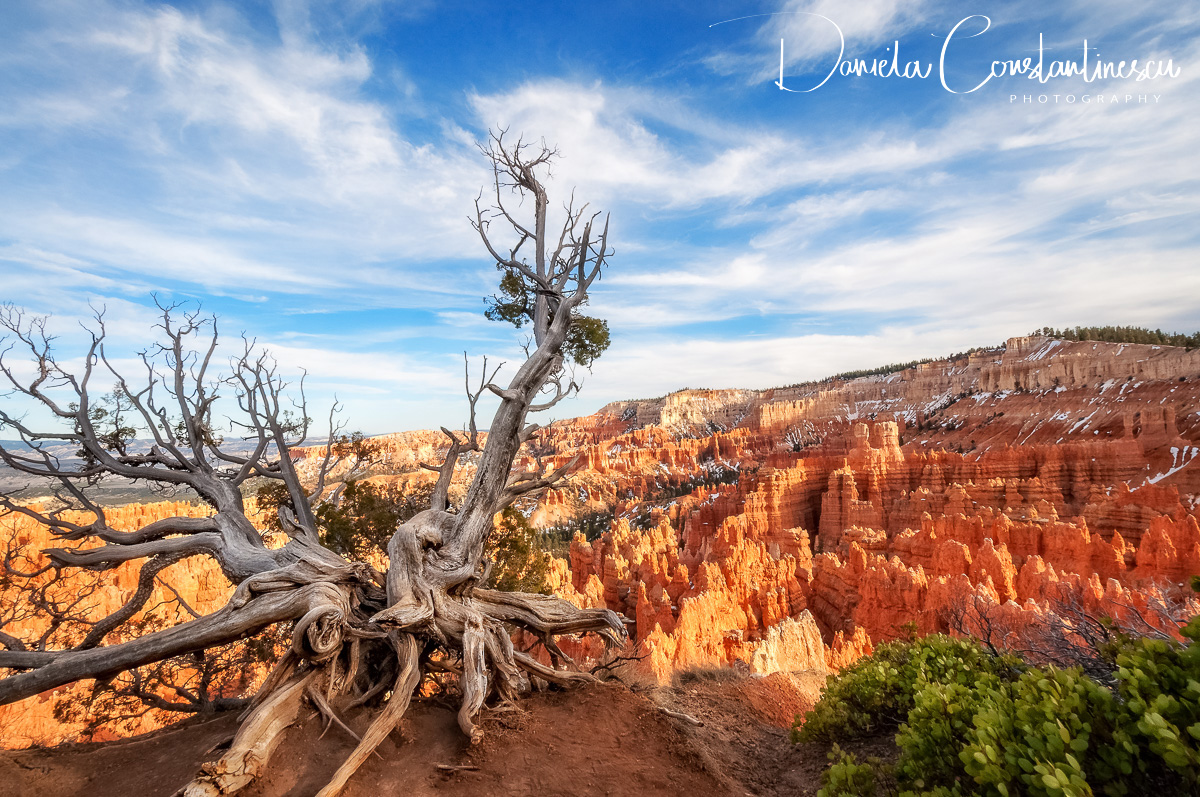 Bryce Canyon National Park   Sculptural dormant tree.