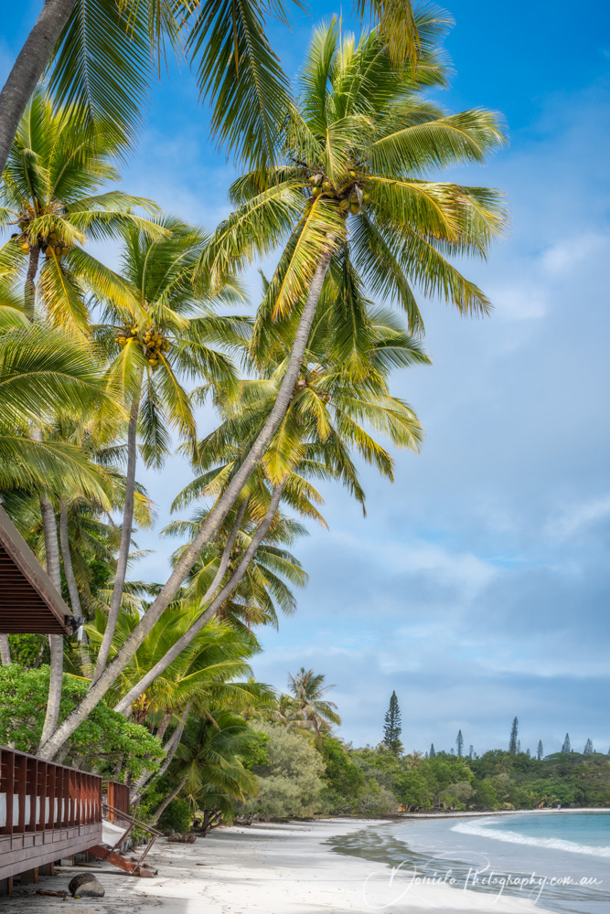 Coconut Palm Trees at Kuto Bay beach in New Caledonia