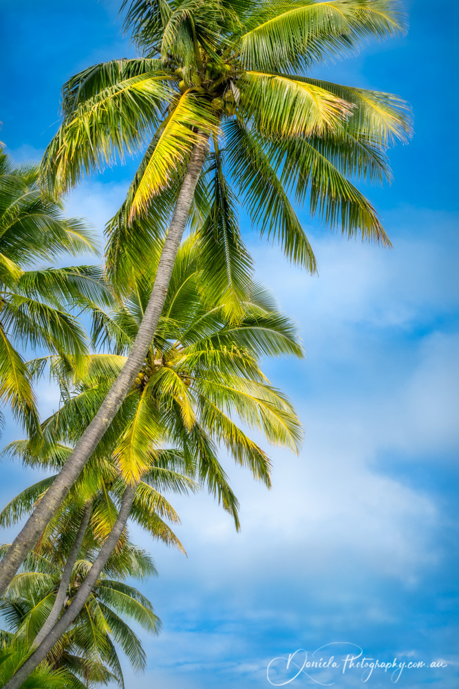 Coconut palm trees at Kuto Bay